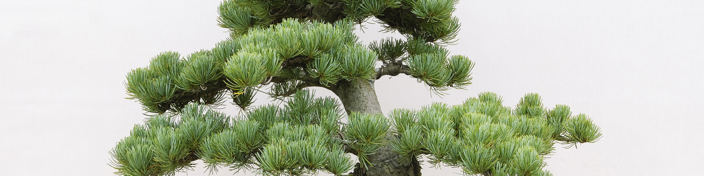 Bees Grow Your Own Pine Bonsai Tree Wiring Tips